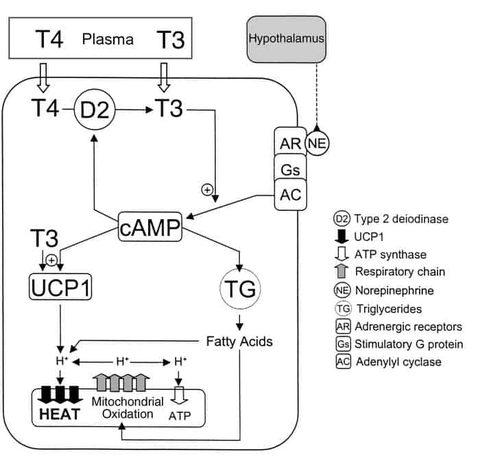 Warum du das aktive Schilddrüsenhormon T3 brauchst