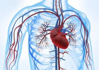 Schilddrüsenhormone verhindern die Herz-Regeneration