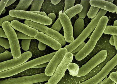 e-coli Bakterien