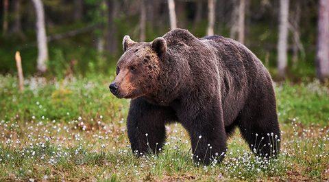Animal Moves Serie: Der Bärengang, Bear Walk oder Bear Crawl